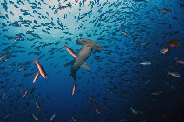 Galapagos Shark Diving - Hammerhai umgeben von Schwarmfisch