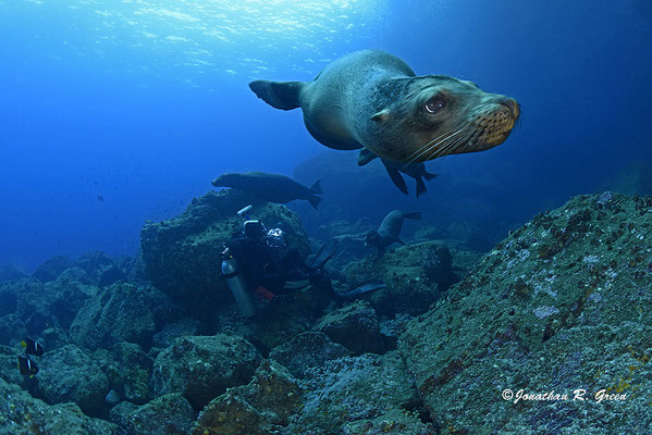 Curious sea lion playing with the divers while diving in Cousin's Rock in Galapagos, ©Galapagos Shark Diving