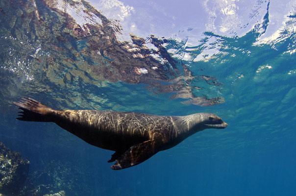 Galapagos Shark Diving - Robbe an Wasseroberfläche Galapagos Inseln