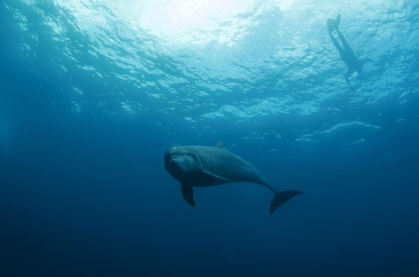 Galapagos Shark Diving - dolphin joing the safety stop in Cocos Island