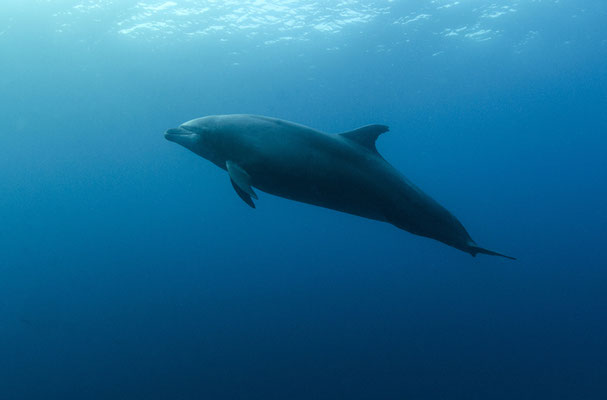 Dolphin swims by during a dive safety stop, ©Galapagos Shark Diving
