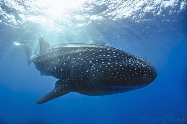 Adult whale shark swimming illuminated by the sun while swimming at Darwin's Arch in Galapagos, ©Galapagos Shark Diving