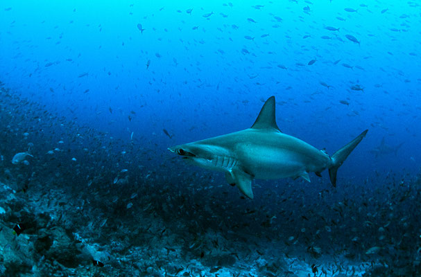 Galapagos Shark Diving - Hammerhead Shark Dive experience Galapagos Islands