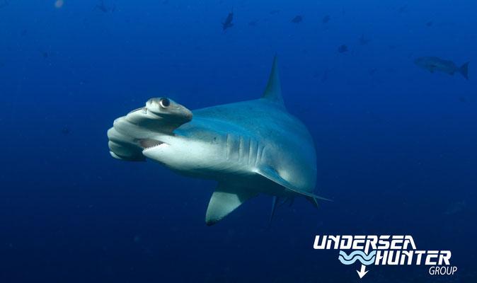 Underseahunter Group: Hammerhead shark in Cocos Island