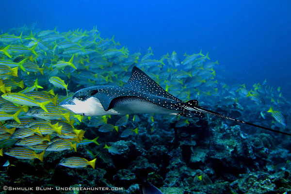 Eagle ray in Cocos Island, ©Unterseahunter Group