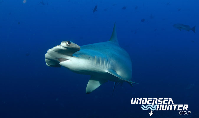 Hammerhead shark in Cocos Island, ©Underseahunter Group