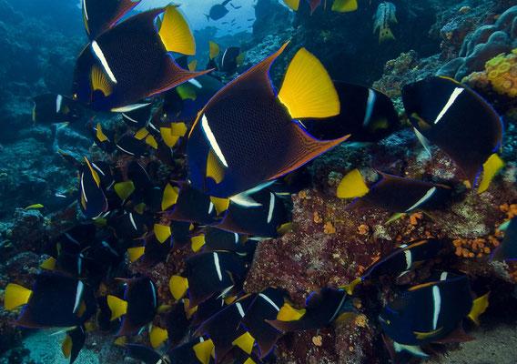Galapagos Shark Diving - König Angelfisch Galapagos Inseln