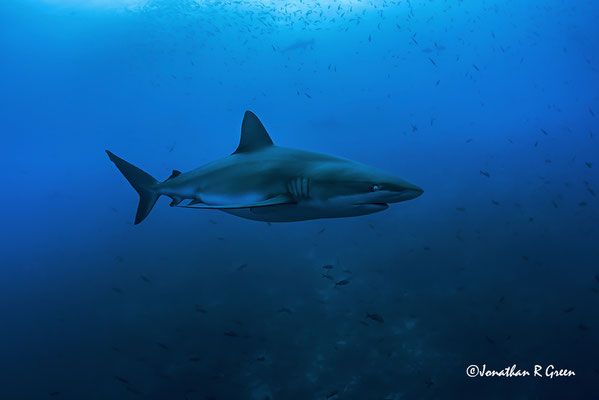 Big Galapagos shark swimming close to the divers while diving in Darwin's Arch in Galapagos, ©Galapagos Shark Diving