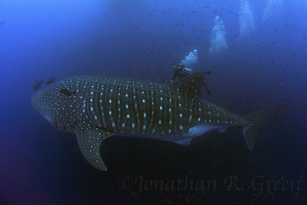 Galapagos Shark Diving - Divers and Whale Shark at Galapagos Islands
