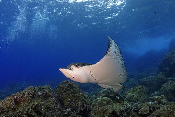 Galapagos Shark Diving - Rochen breitet seine Flossen aus