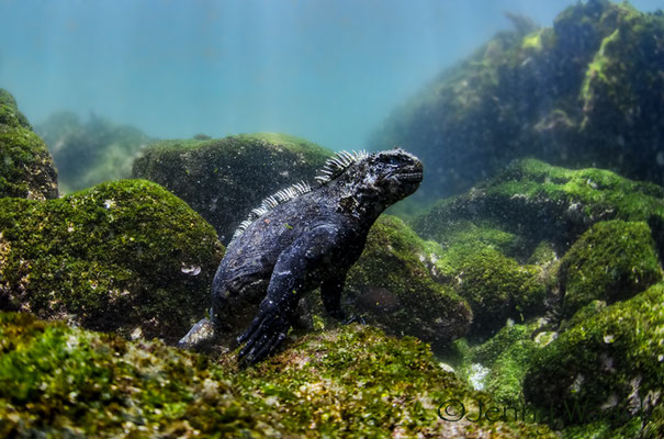 Marine iguana looking into the camera while diving in Cape Douglas in Galapagos, ©Galapagos Shark Diving
