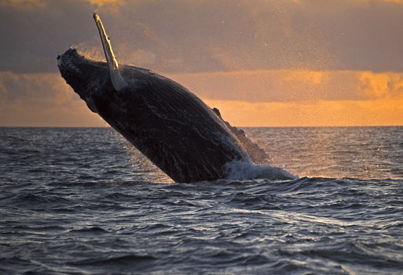 Humpback whale breaching, ©Galapagos Shark Diving