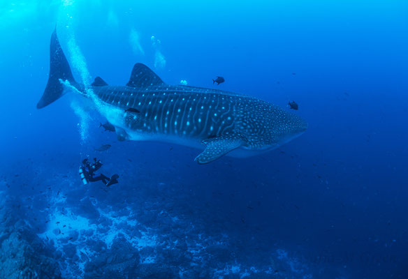 Diver filming a adult whale shark in Darwin Arch in the Galapagos, ©Sofia Green