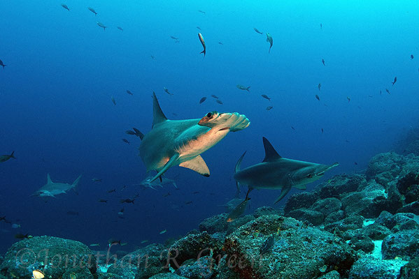 Galapagos Shark Diving - Dive with hammerhead shark Galapagos Islands