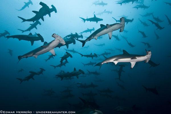 Underseahunter Group - big school of hammerhead sharks in Cocos Island
