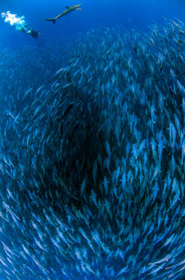 Galapagos Shark Diving - Scharmfisch mit Taucher