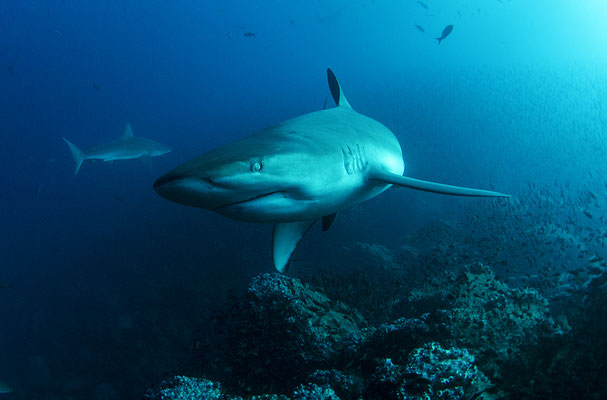 Galapagos shark curious about the camera while diving in Darwin's Arch in Galapagos, ©Galapagos Shark Diving