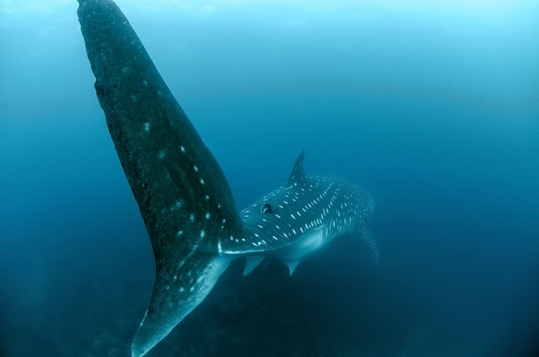 Galapagos Shark Diving - Whale shark fin