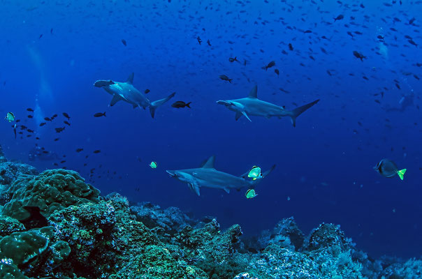 Hammerhead sharks swimming over the rocks,©Galapagos Shark Diving
