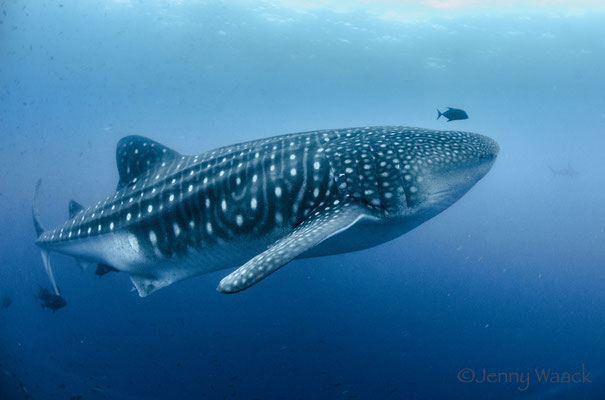 Big adult whale shark swimming by while diving in Darwin's Arch in Galapagos, ©Galapagos Shark Diving