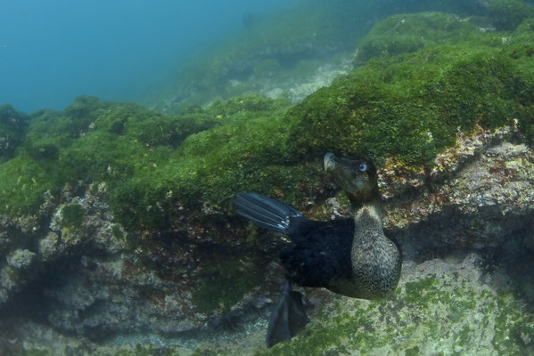 Galapagos flightless cormorant greeting the diver under water, ©Galapagos Shark Diving