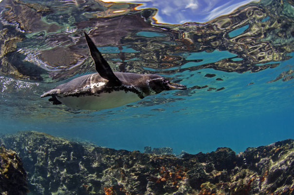 Galapagos penguin swimming very fast through the water, ©Galapagos Shark Diving