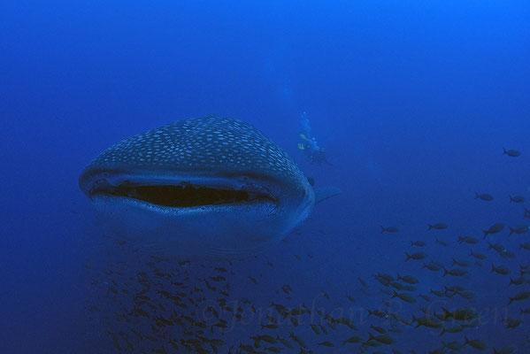 Galapagos Shark Diving - Walhai von vorne