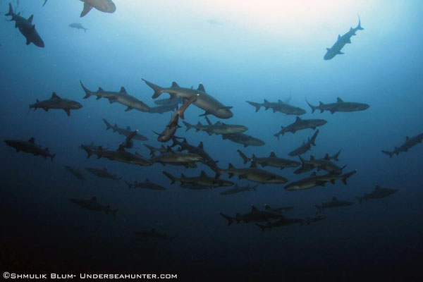 White tip sharks in Cocos Island, ©Unterseahunter Group