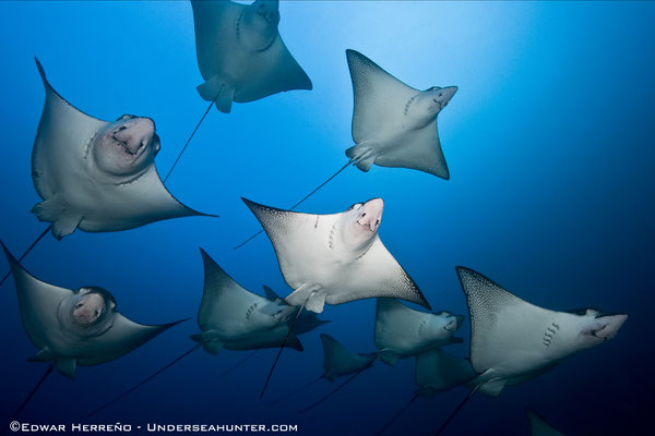 Underseahunter Group - eagle rays swimming by in Cocos Island