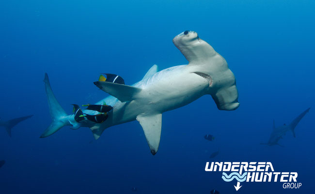 Hammerhead shark in Cocos Island, ©Unterseahunter Group