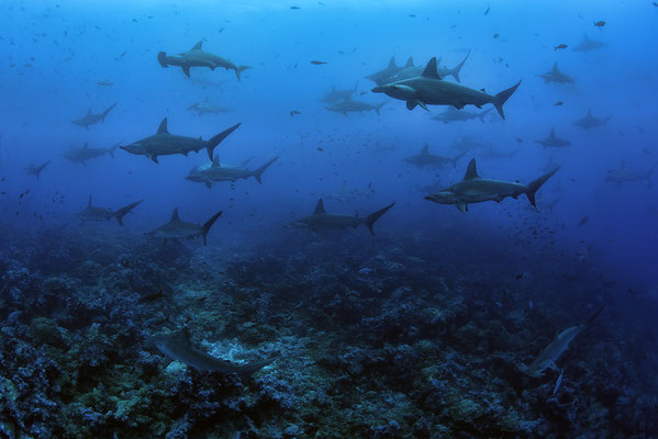Galapagos Shark Diving -  hundreds of sharks at Galapagos Islands