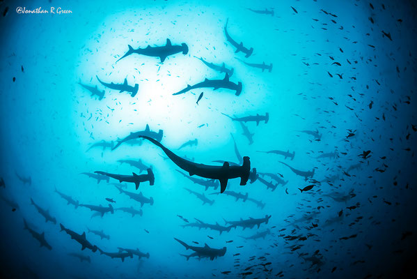 Big school of hammerhead sharks while diving in Darwin's Arch in Galapagos, ©Galapagos Shark Diving