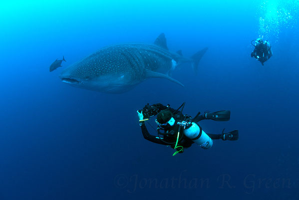 Diver taking photographs of a whale shark, ©Galapagos Shark Diving