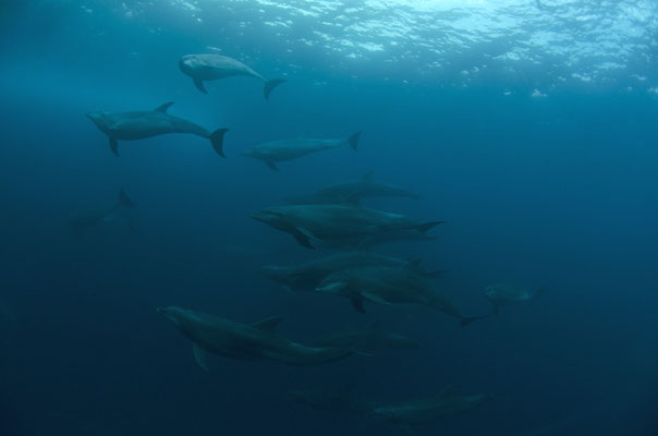 Galapagos Shark Diving - Many Dolphins close to surface Galapagos Islands