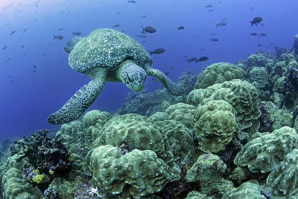 Galapagos Shark Diving - Schildkröte und Koralle