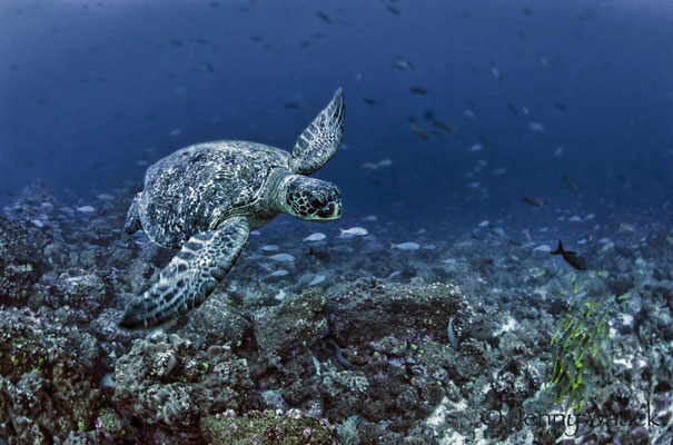 Green Sea Turtle swimming by in Galapagos, ©Galapagos Shark Diving