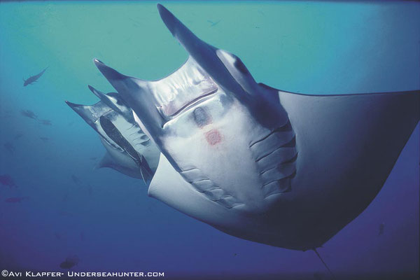 Manta rays in Cocos Island, ©Unterseahunter Group