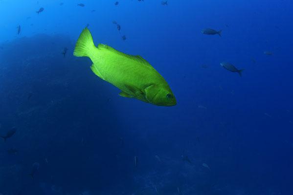 Galapagos Shark Diving - gelber Tropenfisch Galapagos Inseln