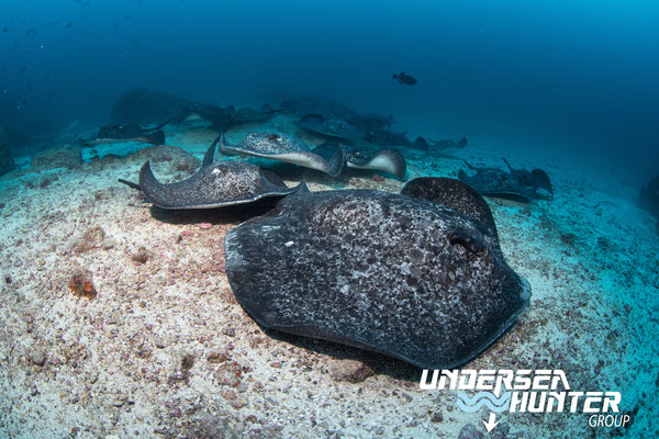 Underseahunter Group - marble rays in Cocos Island