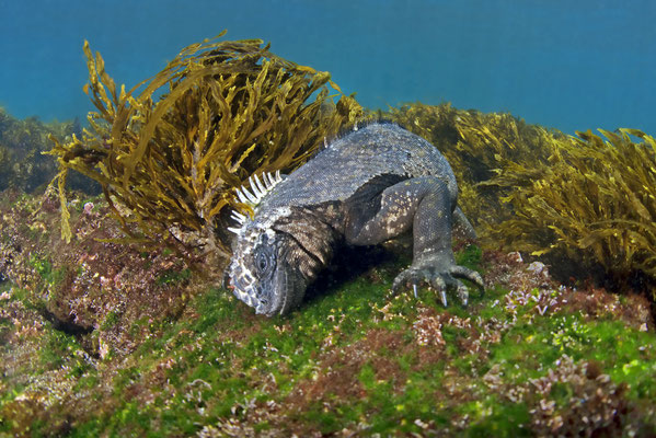 Marine iguana feeding under water, ©Galapagos Shark Diving