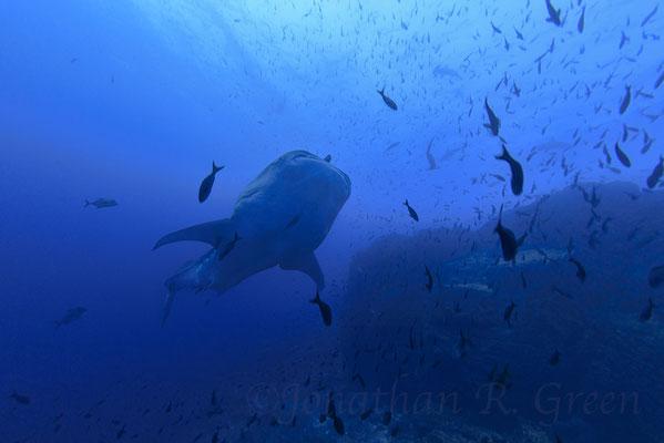 Galapagos Shark Diving - Walhai mit Schwarmfisch