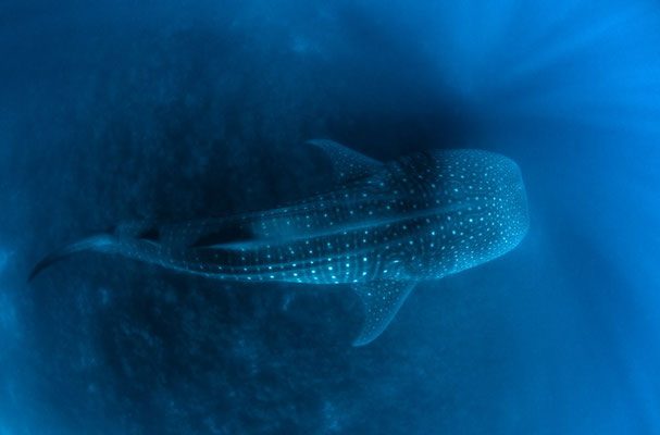 Galapagos Shark Diving - Whale Shark from above