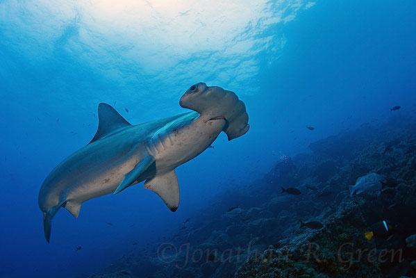 Close encounter with a hammerhead shark, ©Galapagos Shark Diving