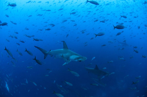 Galapagos Shark Diving - Hammerhead under water animal