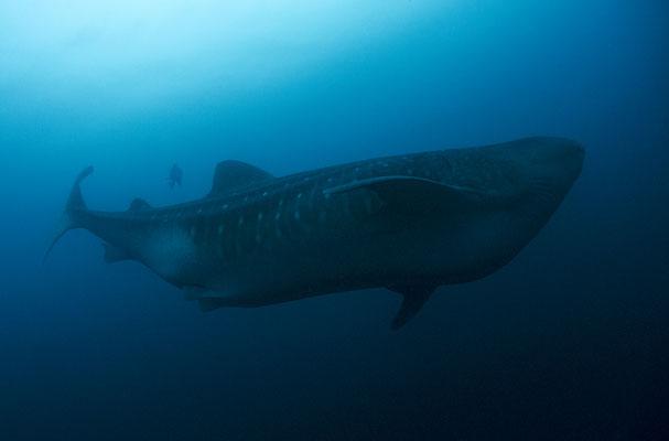 Galapagos Shark Diving - Walhaiaufnahme Galapagos Inseln Tauchen