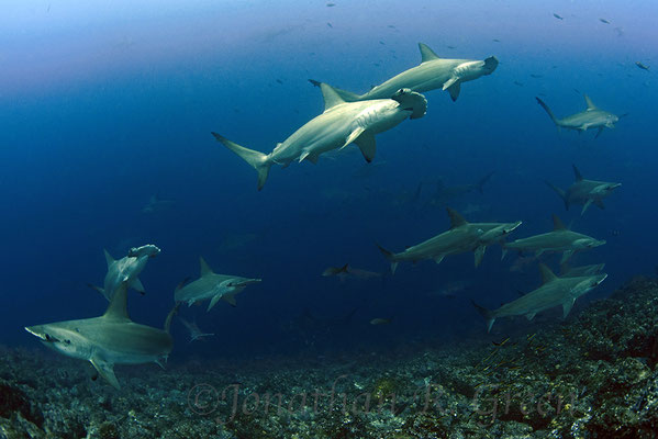 Galapagos Shark Diving - hammerhead sharks Galapagos Islands animals