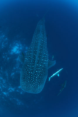 Whale shark swimming under the diver, ©Galapagos Shark Diving