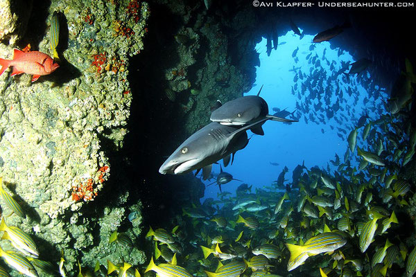 Underseahunter Group - white tip reef sharks in Cocos Island