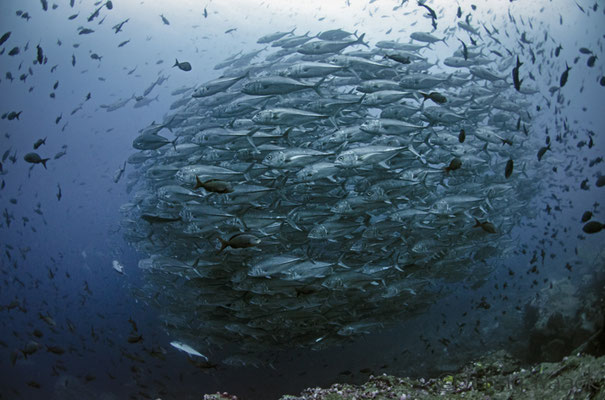 Big school of big eyed jacks in Galapagos, ©Galapagos Shark Diving
