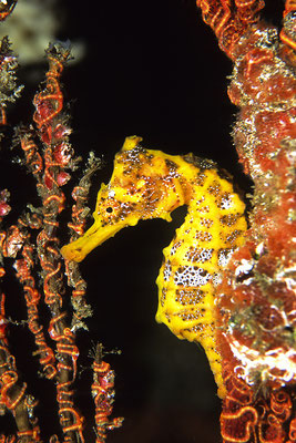 Golden Pacific Sea horse in the Galapagos Islands, ©Galapagos Shark Diving